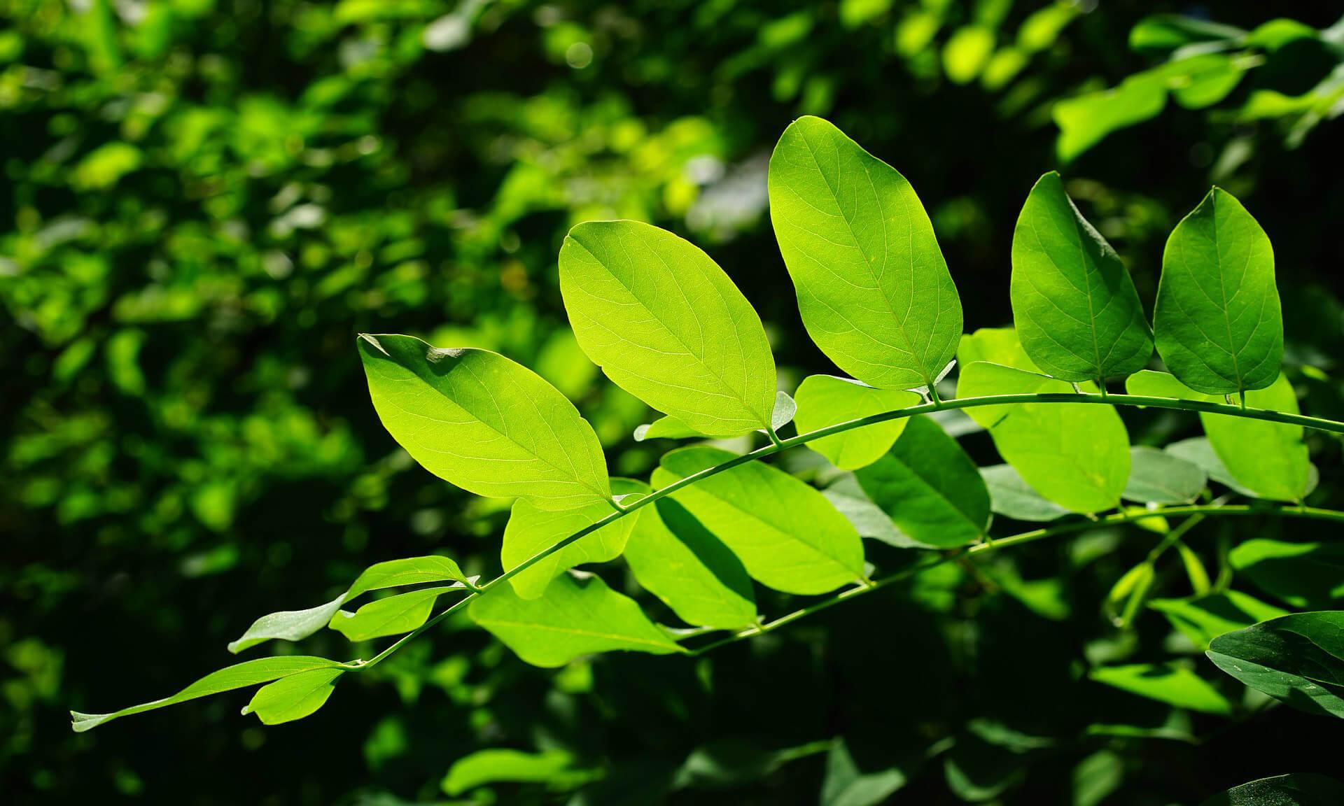 Clorofilla, una sostanza naturale per ottenere un alito fresco.
